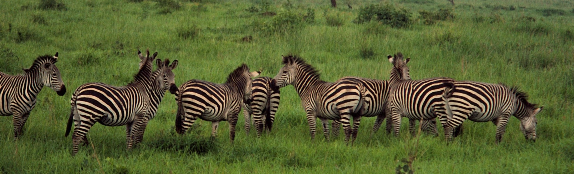 Freely roaming zebras in the Mikumi Naitonal Park in Tanzania