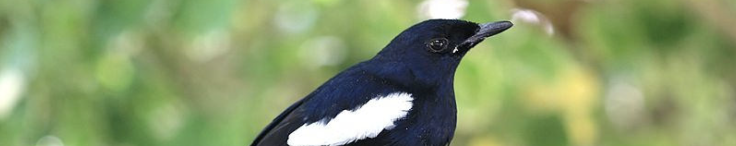 magpie robin Seychelles
