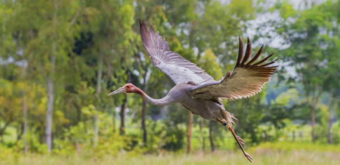 Eastern Sarus cranes released into their natural habitat, in Thailand. Photo credit: Kajornyot Krunkitsatien/ Zoological Park Organization