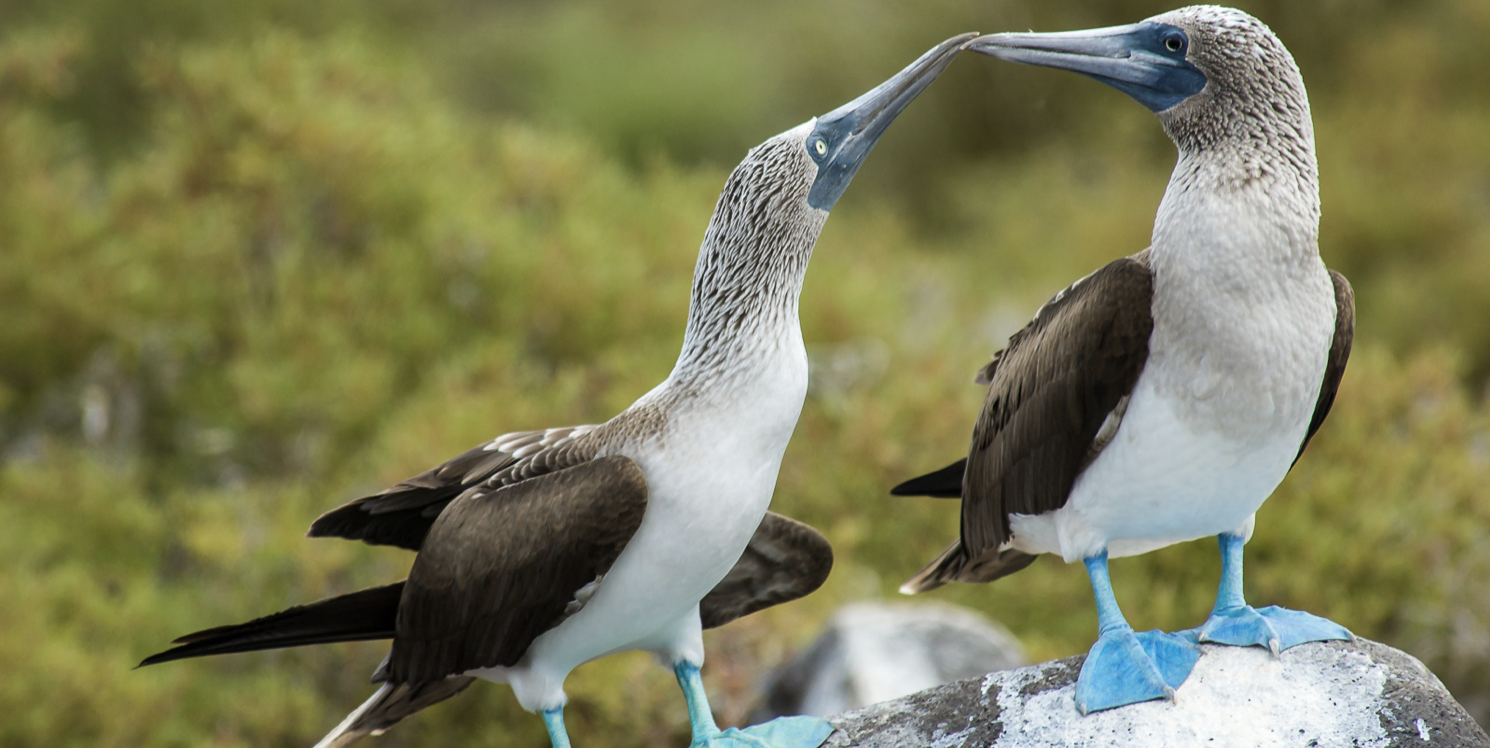 Ecuador blue footed booby