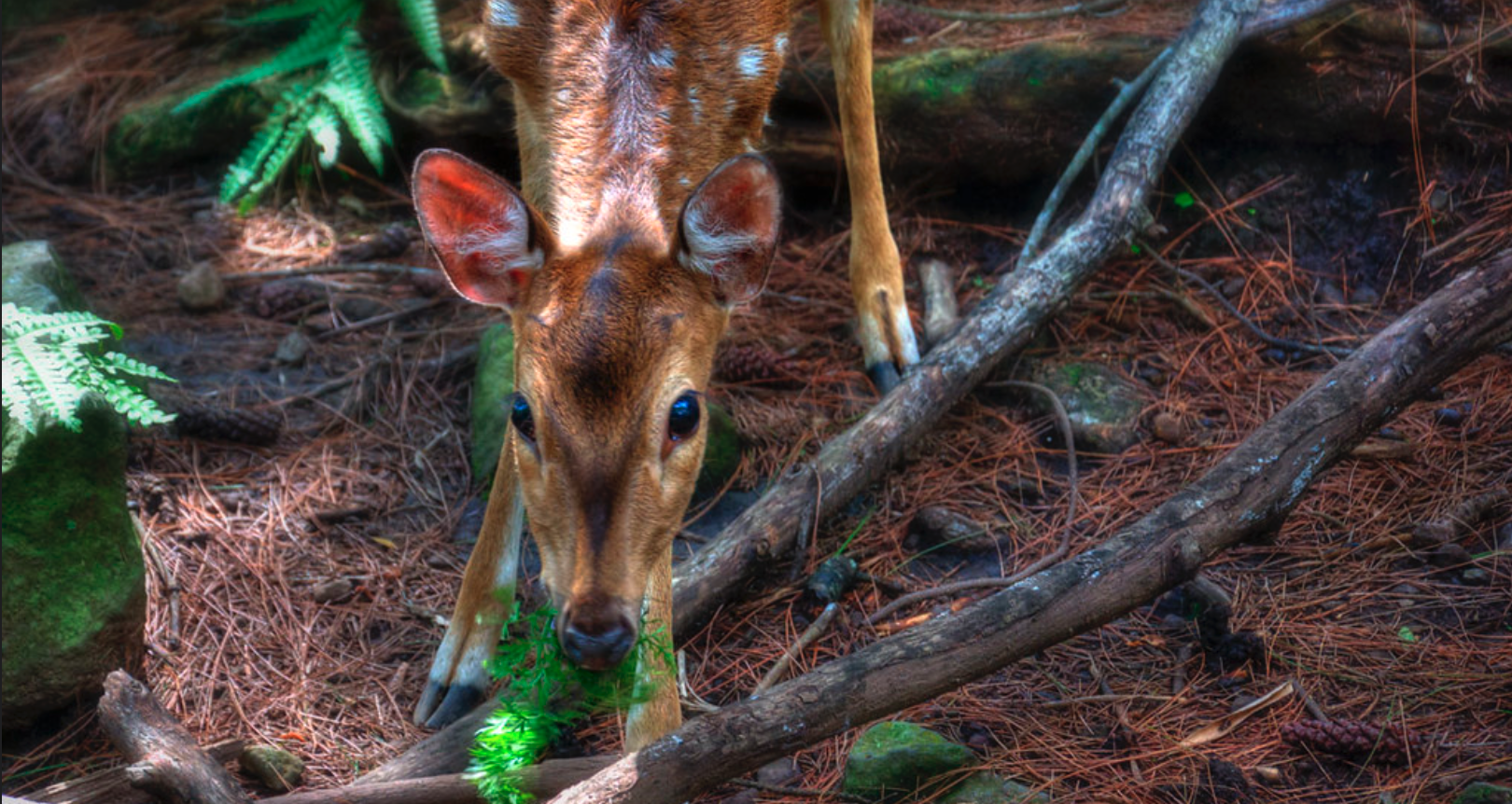 deer indonesia