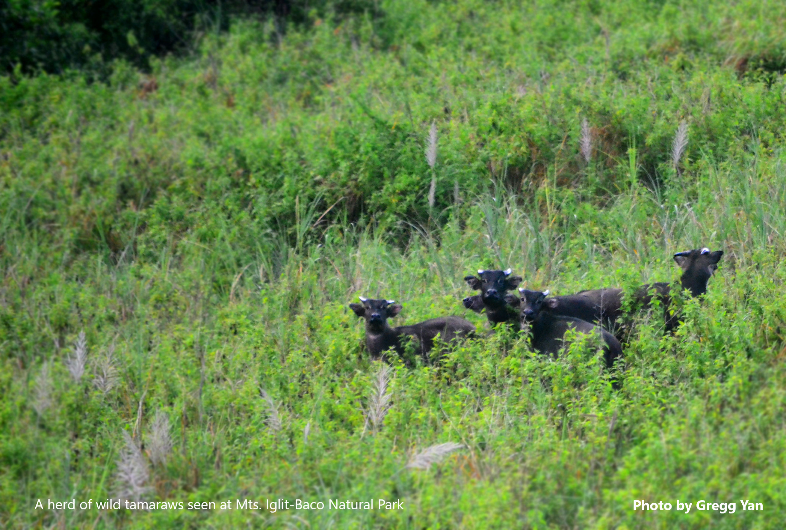 A herd of tamaraws seen in the wild at Mts. Iglit-Baco Natural Park. Photo by Gregg Yan