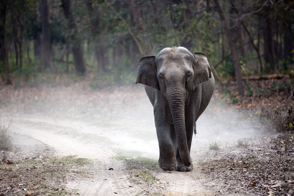 An elephany in India walking down a road