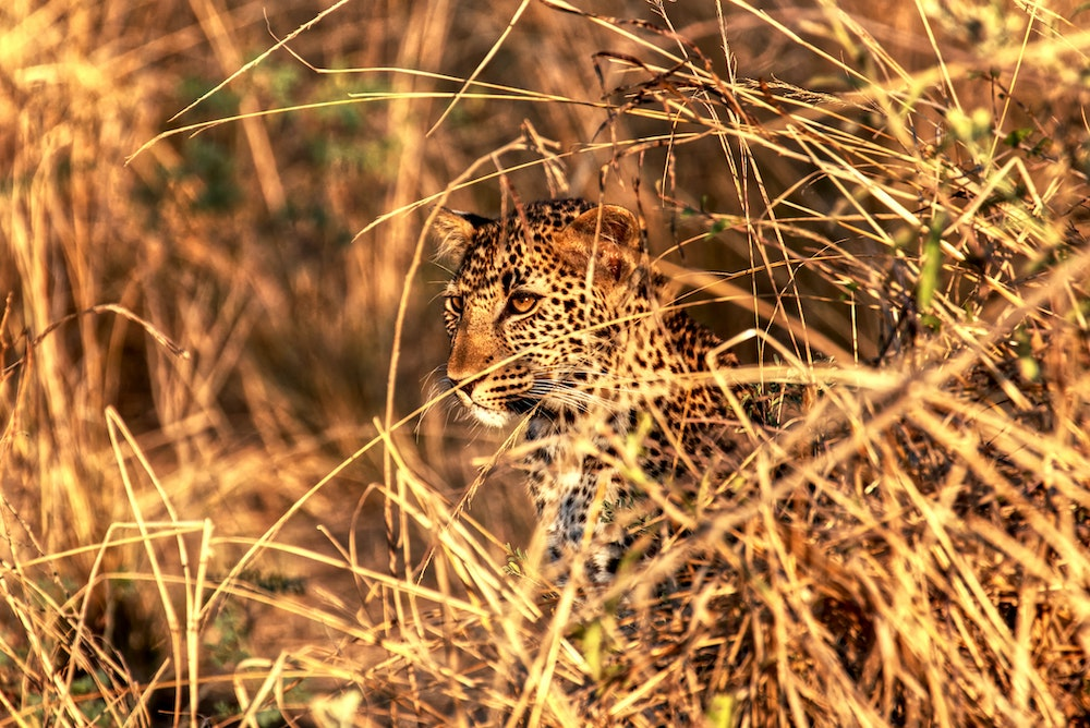 Jaguar in Zambia